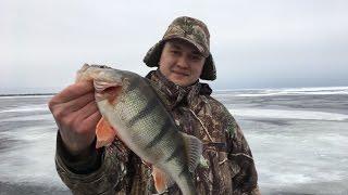 Рыбалка на Окуня. Чудское озеро. Крупный Окунь на озере есть.