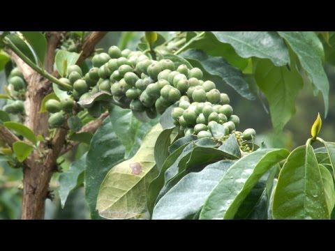 Mataro ma Murimi -  High yields coffee farming