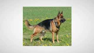 German Shepherd Puppy Training Methods And Tips
