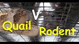 Rat Problem Quail Escape & Grass in Pen Experiment