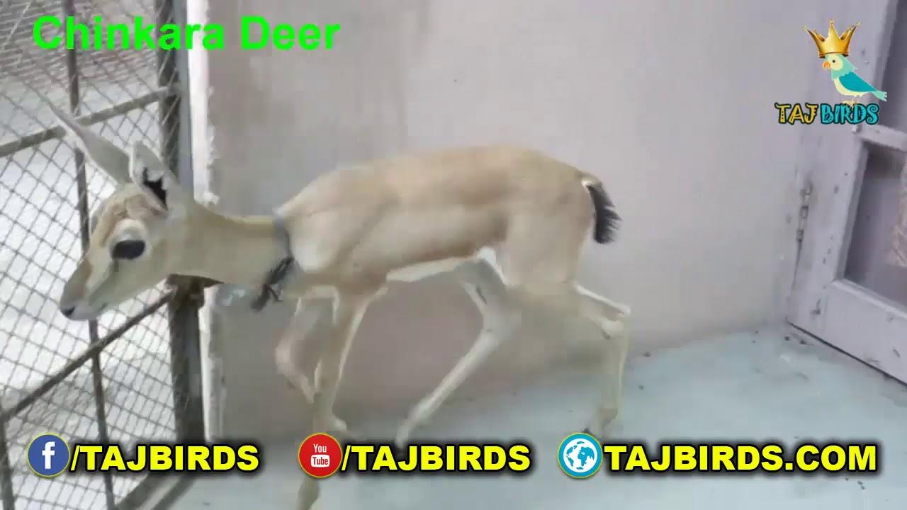 Chinkara Deer Baby | Deer Information | Playful Chinkara Deer Baby |  Healthy Deer Baby