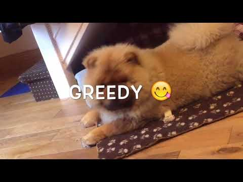 Life of a chow chow
