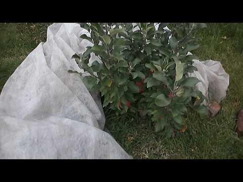 Вопрос: Колоновидная яблоня. Какой сорт для Сибири лучше?