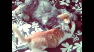 Miniature Schnauzer And Cat