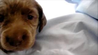 ブリーダーの子犬販売 アイドルドギー お問い合わせは下記まで メール i...