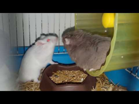 Gerbil, Hamster, And Mice Playing,  Hamster Mice Playing Cage