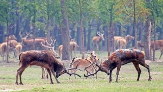 Extremely rare Chinese stags lock horns as mating season begins