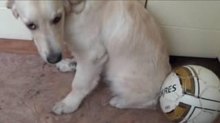 Собака  лабрадор ретривер хулиганит дома, разговор с провинившимся щенком