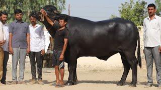 Buffalo Lover's of Gujarat with Modi Bull Lakshmi Dairy Farm