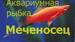 Меченосец. Xiphophorus helleri (аквариумная рыбка)