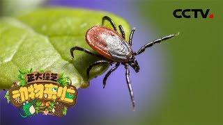 [正大综艺·动物来啦]选择题 如何处理叮咬在皮肤上的蜱?| CCTV