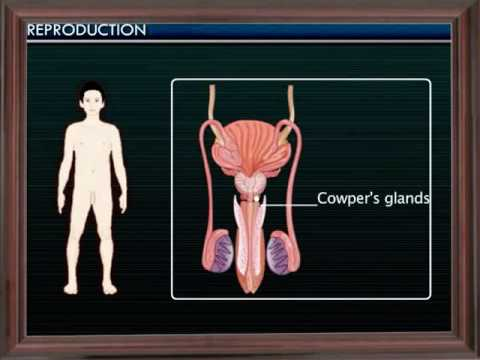 Reproduction:-Human Reproductive System-07