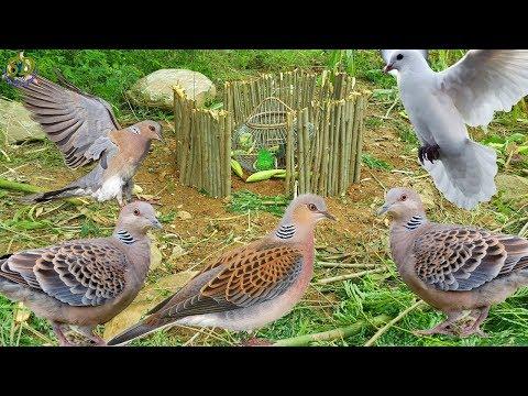 The Best Of Birds Trap Video Caught || Bird Trap At Phnom Rang Mountain