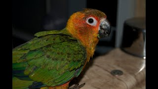 Baby Sun Conures Flying | CJ & Lily