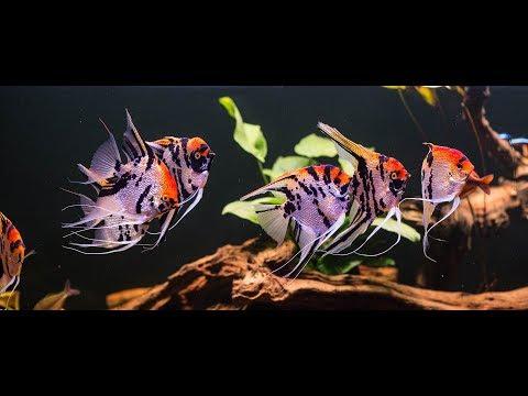 River Themed Aquarium. Majestic Pterophyllum Scalare
