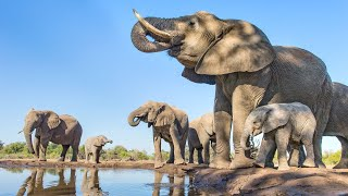 Life of Elephants National Geographic Documentary HD 2017