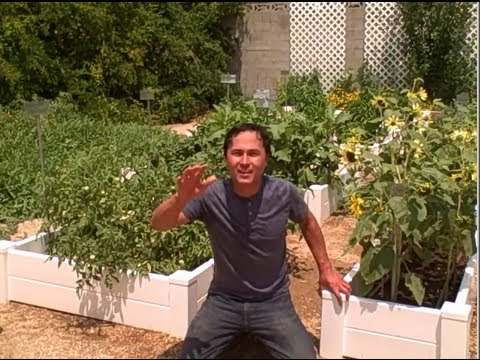 Most Successful Vegetable Garden in Las Vegas Desert Yields 600 lbs of Tomatoes a Day