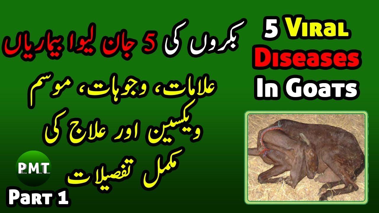 5 Diseases of Goats, Symptoms, Season, Vaccine, Precautions, Cure & Treatments Details in Urdu