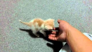 息子が赤ちゃんねこ拾ってきた♪名前は「あいる」です♪ my son brought home a kitten . thumbnail