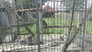 Обезьянка капуцин-плакса в минском зоопарке.(группа вконтакте: http://vk.com/pgshelp1 сайт: https://sites.google.com/site/na5balov заказать работу: ..., 2014-07-23T16:20:25.000Z)