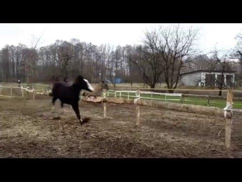 Tasunke Polski Koń Szlachetny Półkrwi Youtube