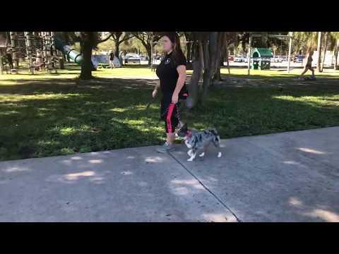 Sandi | Mini Aussie