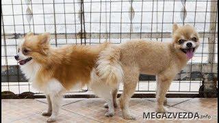 Почему собаки склеиваются попами при спаривании, этому есть объяснение в видео
