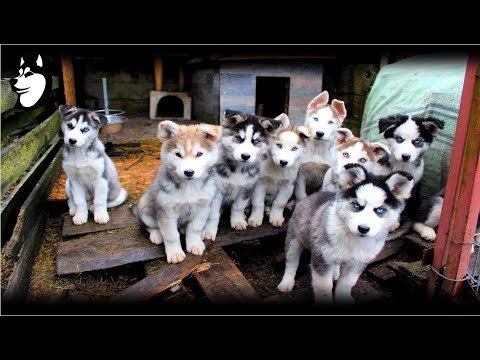 Preparing Food + Siberian Husky Eating: 10 Weeks Old(2018)