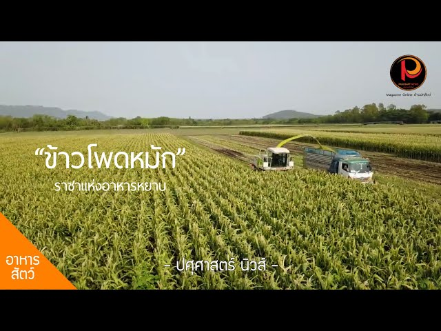 ข้าวโพดหมัก (Corn silage) ราชาแห่งอาหารหยาบ ทางเลือกใหม่เกษตรกรผู้เลี้ยงโค และแพะ - ปศุศาสตร์ นิวส์