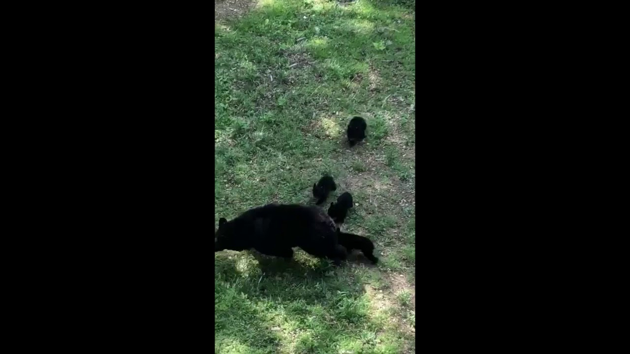 Family of Bears Visit Tennessee Home