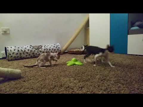 Funny Butterfly!!! Cat Toy! Kittens Cornish Rex show you!