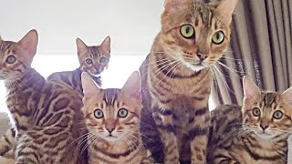 These Bengal Kittens are very Mischievous