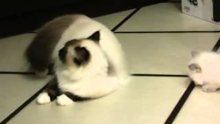 невский маскарадный котенок Луи от Вирджинии и Зиберта Данвела  продается
