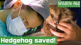 Vet saves injured hedgehog!