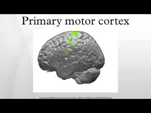 Primary motor cortex - YouTube