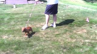 Training An 8 Week Old Vizsla On The Electric Dog Fence