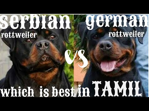 German rottweiler Vs Serbian rottweiler comparison in Tamil / எது சிரந்த ரகம்