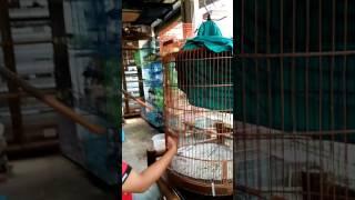 Trah red devil's dr ternakan murai batu ring kholis(4)