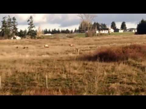 Sequim Elk