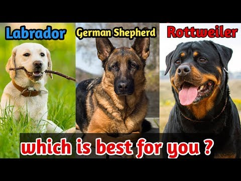 Labrador retriever or German Shepherd or Rottweiler which is best dog for you / Best dogs