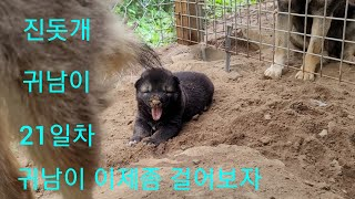 진돗개귀남이 21일차 성장기 올려봅니다.Korean J…