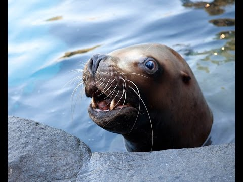 Steller sea lion Gus, 1987 - 2015