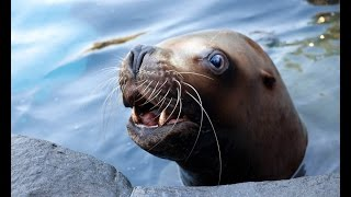 Steller sea lion Gus, 1987 - 2015