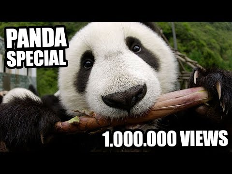 Louis Armstrong - What a Wonderful World (Panda Parody)