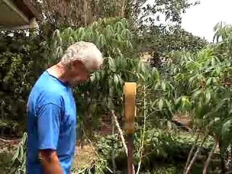 HARVESTING & GROWING CASSAVA - YUCA - MANIOC - TAPIOCA.