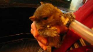 Baby squirrel care and feeding