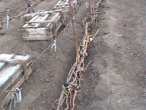 Как укрыть виноград на зиму.
