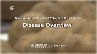 Potato Diseases Caused by Soft Rot Bacteria