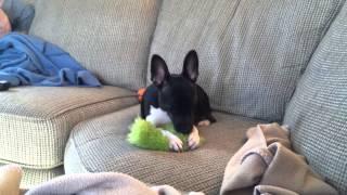 """Sam """"nursing"""" on his favorite toy."""