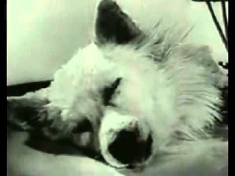 Russian Dog Head Isolation Transplant